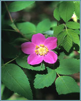 Prickly Wild Rose-Special Price