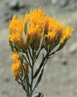 Rabbitbrush 7.5ml